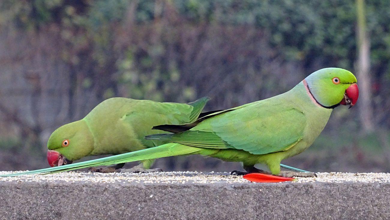 鸚鵡飼養方法