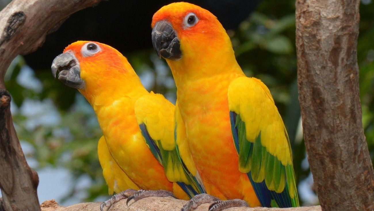 金太陽鸚鵡