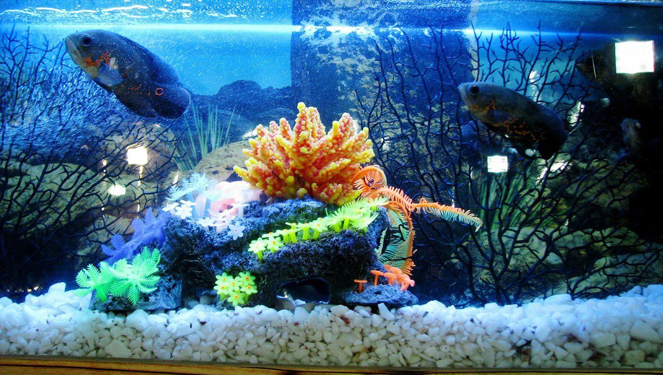水族觀賞魚
