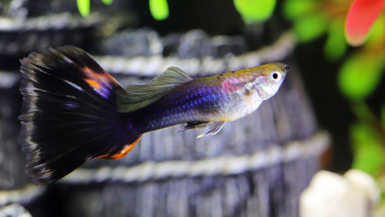孔雀魚繁殖技巧