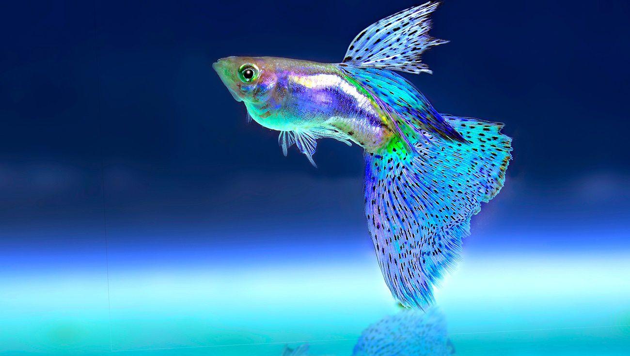 飼養孔雀魚