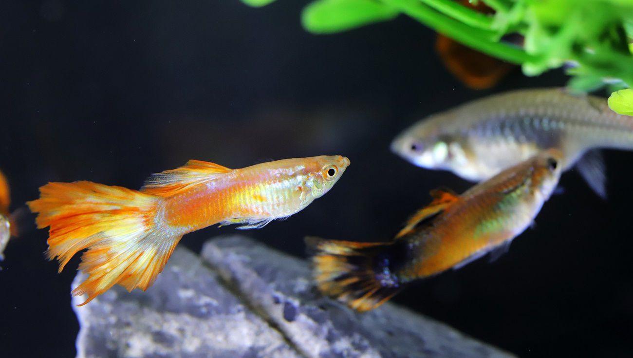 飼養孔雀魚注意事項