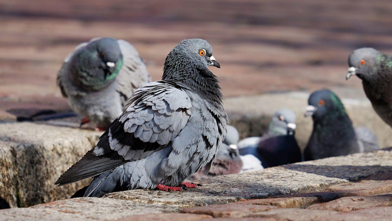 養鴿子注意事項