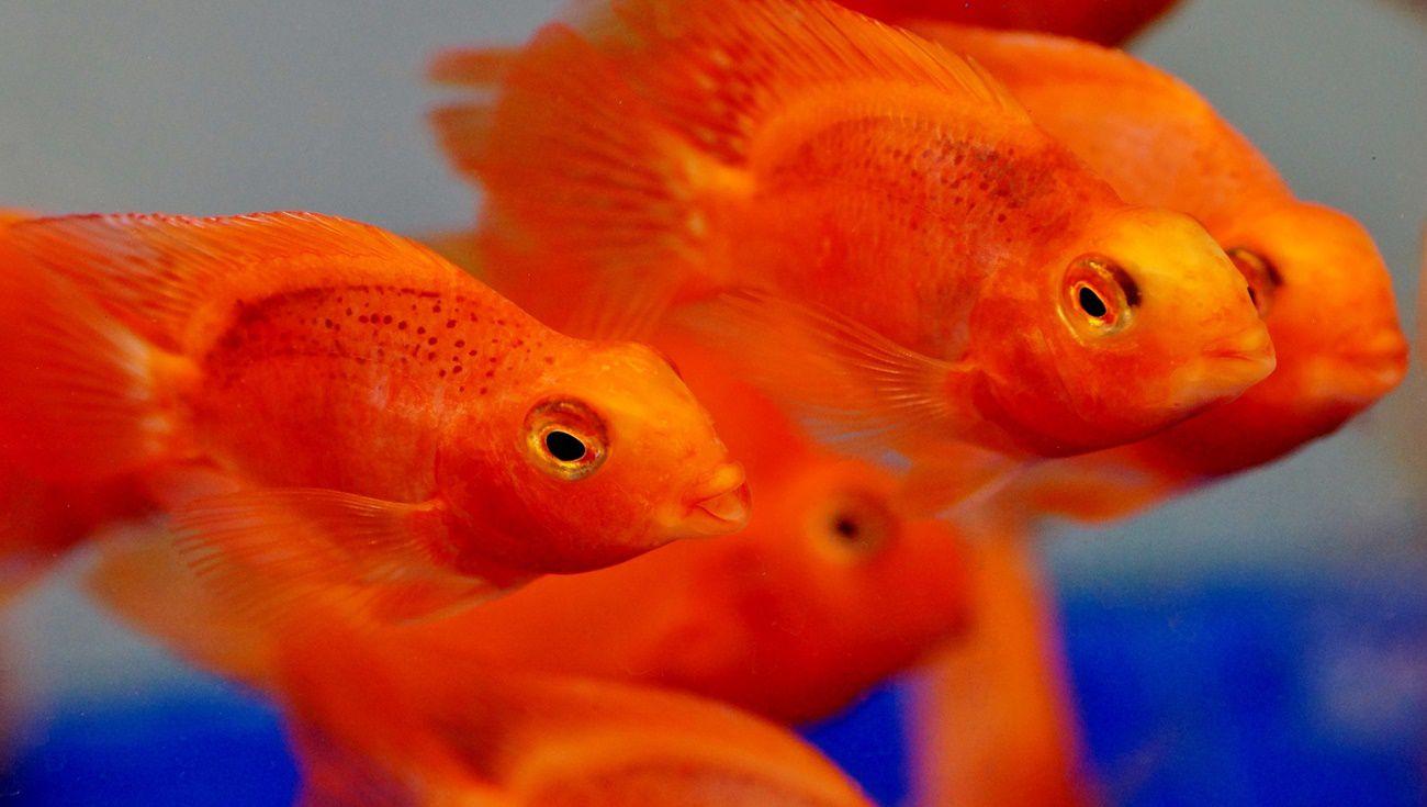 飼養血鸚鵡魚注意事項