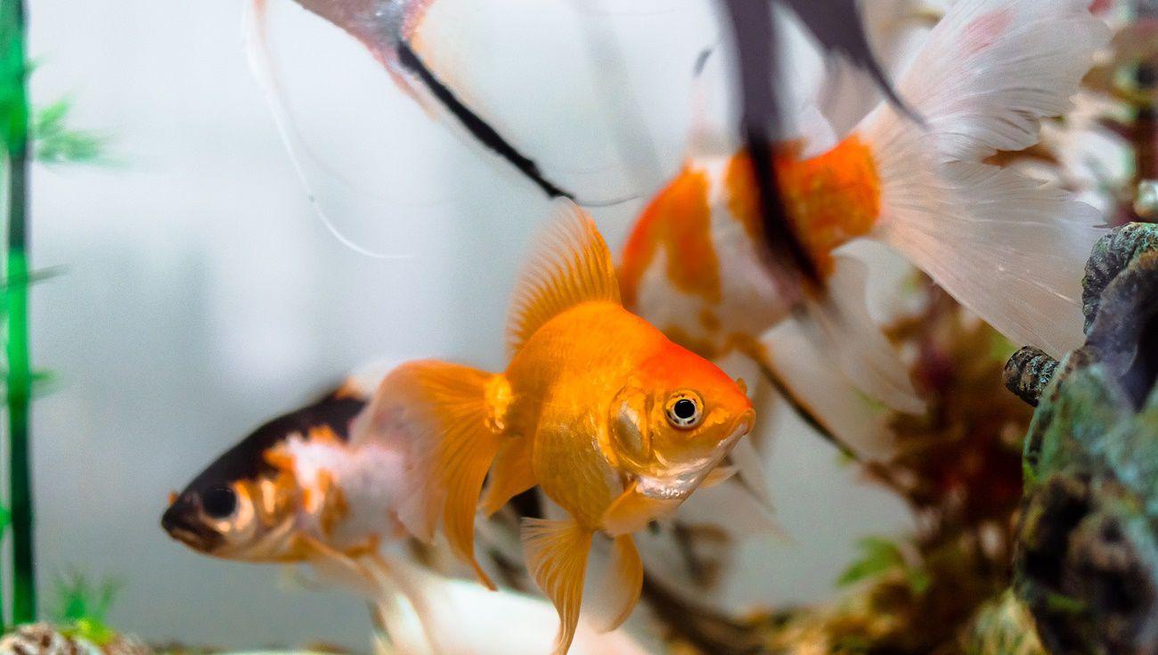 養金魚注意事項