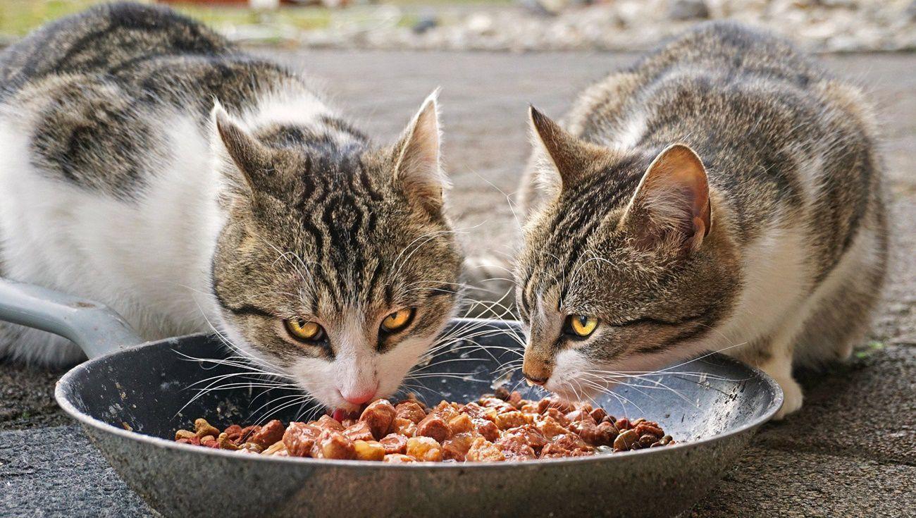 貓餵食注意事項