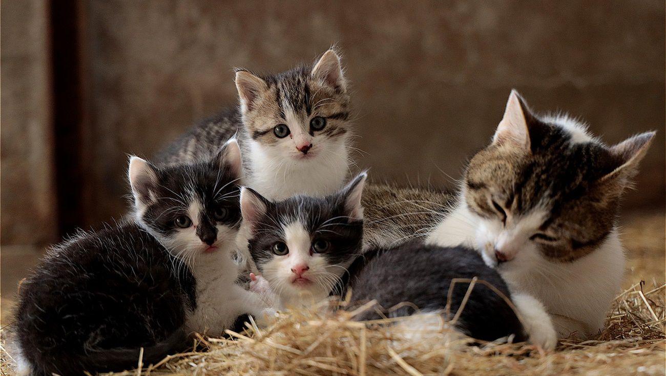 母貓懷孕時
